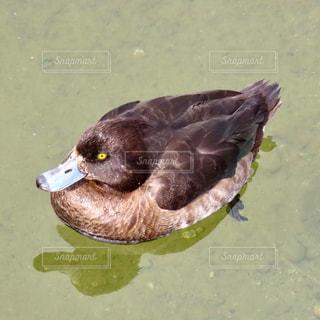鴨の写真・画像素材[2759545]