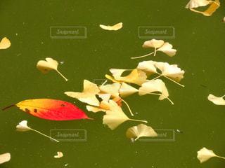 水面に浮かぶ葉っぱの写真・画像素材[2763970]