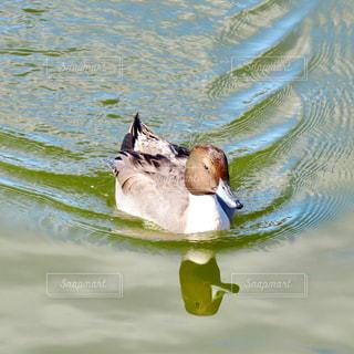 鴨の写真・画像素材[2764821]