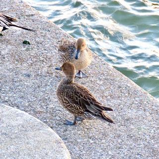 鴨の写真・画像素材[2829750]