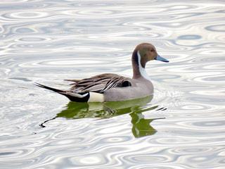 鴨の写真・画像素材[2851169]