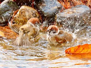 雀の水浴びの写真・画像素材[2856994]