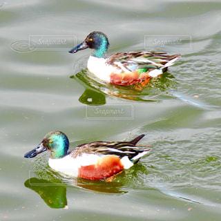 2羽の鴨の写真・画像素材[2871904]
