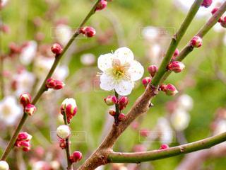 梅の花の写真・画像素材[2896774]