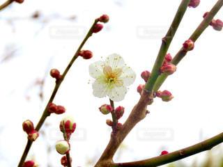 梅の花の写真・画像素材[2897081]