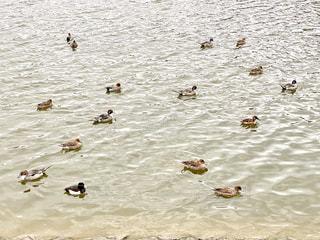 鴨の写真・画像素材[2903532]