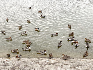 鴨の写真・画像素材[2903544]