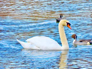 白鳥の写真・画像素材[2929296]