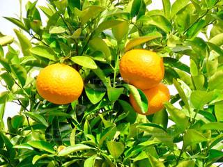 オレンジの写真・画像素材[2936065]