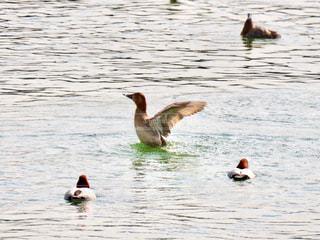 鴨の羽ばたきの写真・画像素材[2947699]