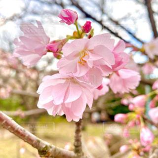 桜の写真・画像素材[3044690]