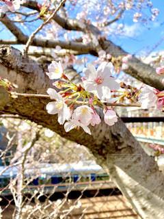 桜の写真・画像素材[3060816]