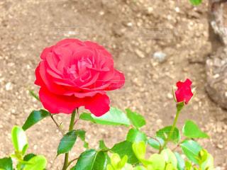 薔薇の写真・画像素材[3197311]