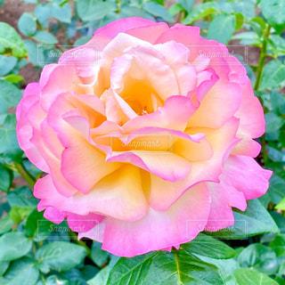 薔薇の写真・画像素材[3205389]