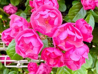 薔薇の写真・画像素材[3207798]