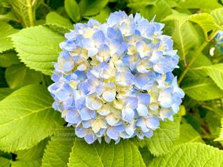 紫陽花の写真・画像素材[3265127]