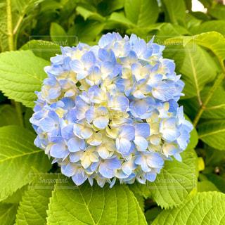 紫陽花の写真・画像素材[3265151]