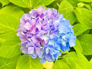 紫陽花の写真・画像素材[3295516]