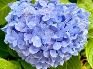 雨の日の紫陽花の写真・画像素材[3322470]