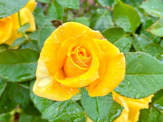 雨の日のバラの写真・画像素材[3334911]