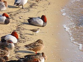鴨とイソシギの写真・画像素材[3965941]