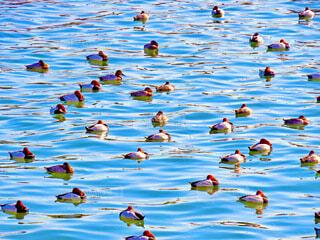 鴨の写真・画像素材[3965942]