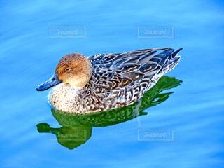 鴨の写真・画像素材[3975106]
