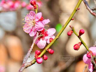 梅の花と枝の写真・画像素材[4163614]
