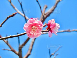 梅の花の写真・画像素材[4163613]