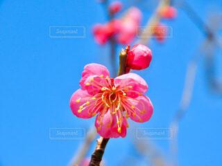 梅の花と蕾の写真・画像素材[4163616]
