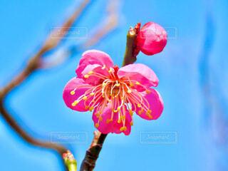 梅の花と蕾の写真・画像素材[4163618]