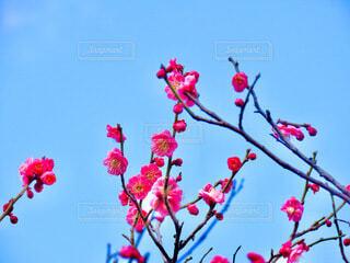 梅の写真・画像素材[4165996]