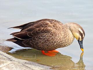 鴨の写真・画像素材[4229457]