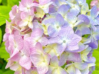 2色の紫陽花の写真・画像素材[4452812]
