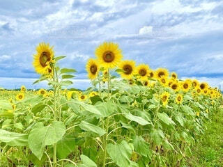 向日葵の写真・画像素材[4647989]