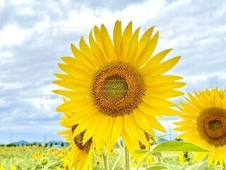 向日葵の写真・画像素材[4649575]
