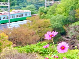 コスモスと電車の写真・画像素材[4932199]