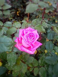 花の写真・画像素材[682373]