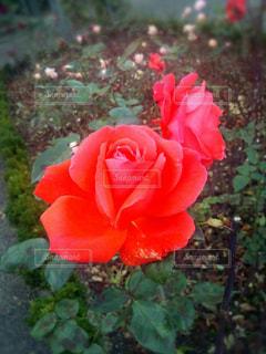 花の写真・画像素材[682374]