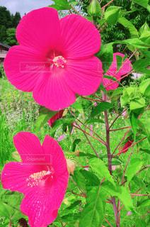 ピンクの花の写真・画像素材[725163]