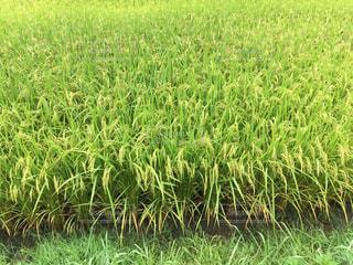 稲の写真・画像素材[725343]