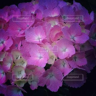ピンクのアジサイ - No.697906