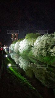 霞城公園の桜の写真・画像素材[701677]