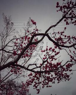 八重桜の花 - No.701909