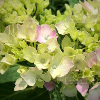 紫陽花の花のアップの写真・画像素材[714978]