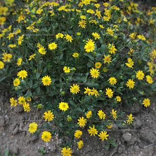 黄色の花の写真・画像素材[714994]