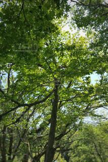 森の大きな木の写真・画像素材[715002]