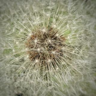 たんぽぽ綿毛のアップの写真・画像素材[715013]