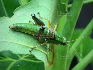 枝に緑色の昆虫の写真・画像素材[717761]