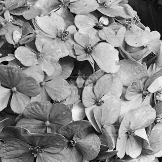 モノクロの紫陽花 - No.717950